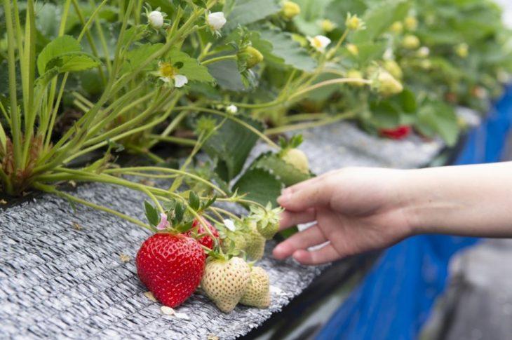 【写真】福岡特産のいちごのあまおうを手に持つ