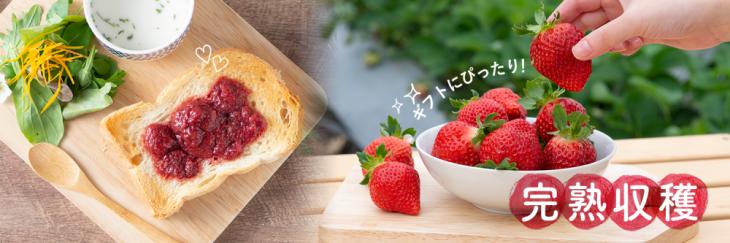 福岡のいちごで人気!福岡限定生産の 濃い甘み「あまおう」の魅力とは?